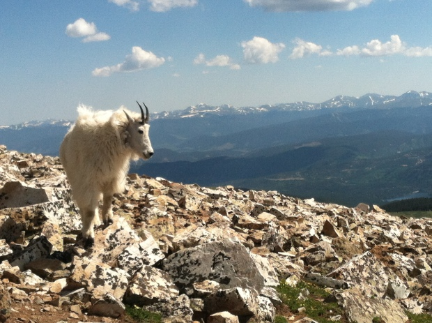 Sadly never saw a moose or buffalo out west, but we got up close and personal to plenty of mountain goats